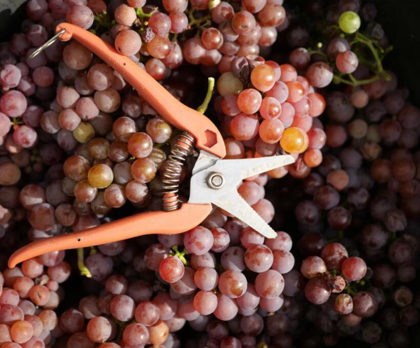 Vigne Raisin Schlumberger vin Alsace