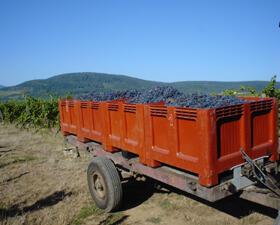 Vigne vendange Domaine Schlumberger Alsace