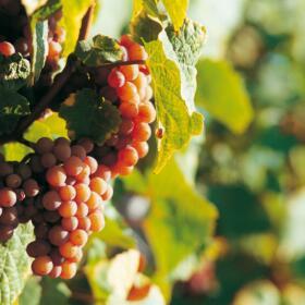Vigne Vendange RaisinDomaines Schlumberger Alsace