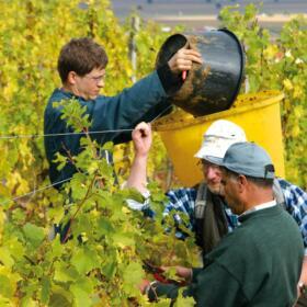 Vigne Vendange Domaines Schlumberger Alsace