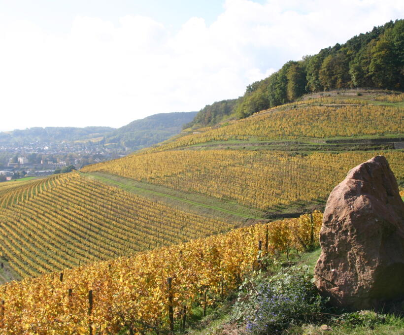 Vigne octobre Domaines Schlumberger Alsace
