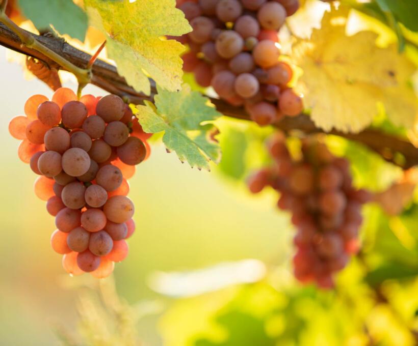Vigne Cépage Gewurztraminer Schlumberger vin Alsace
