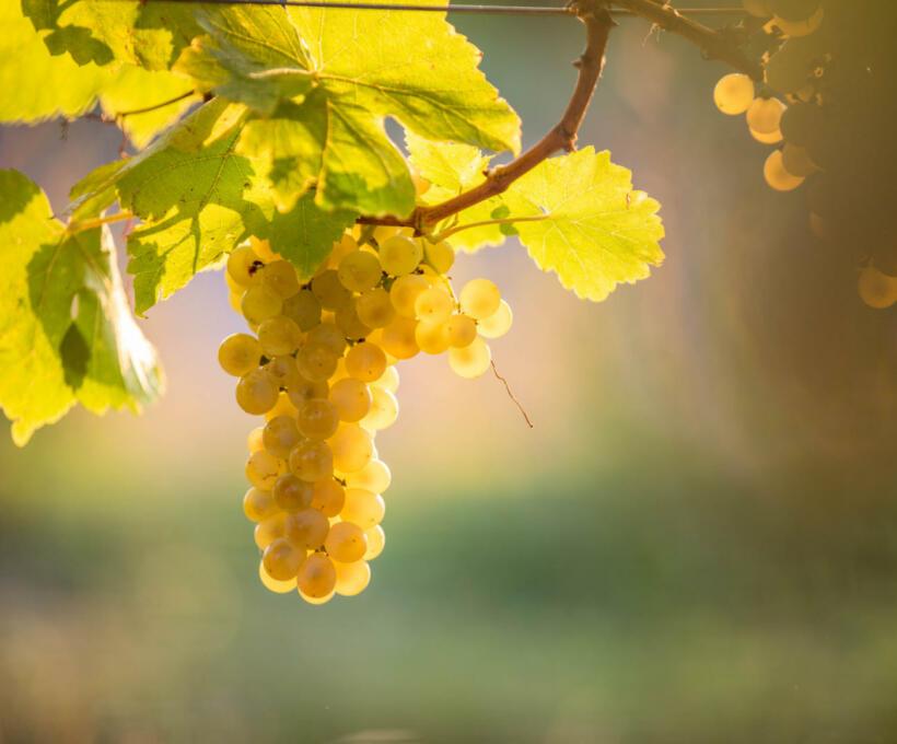 Vigne Cépage Muscat Schlumberger vin Alsace