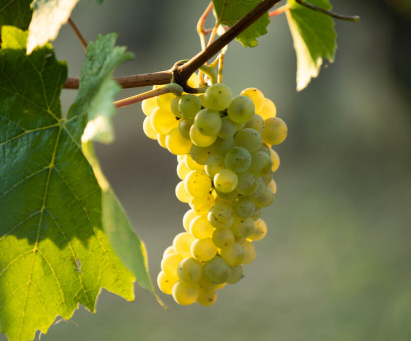 Cépage Pinot Blanc Schlumberger vin Alsace