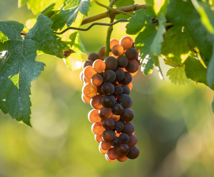 Vigne Cépage Pinot Gris Schlumberger Vin Alsace