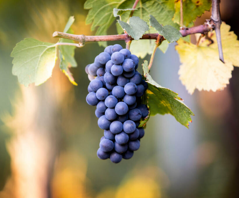 Vigne Cépage Pinot Noir Schlumberger Vin Alsace