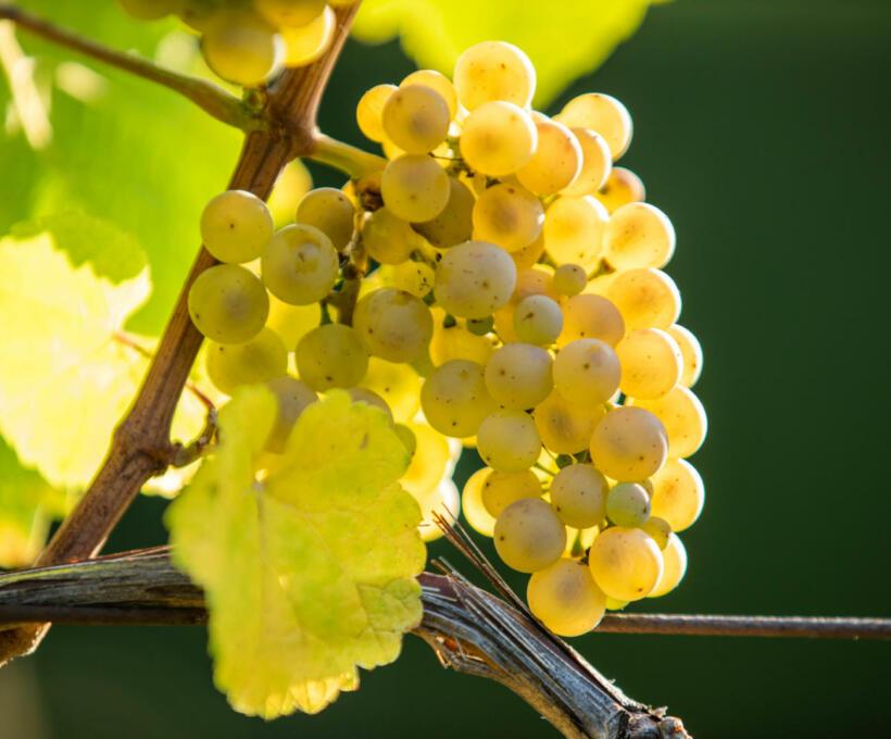 Vigne Cépage Riesling Schlumberger Vin Alsace