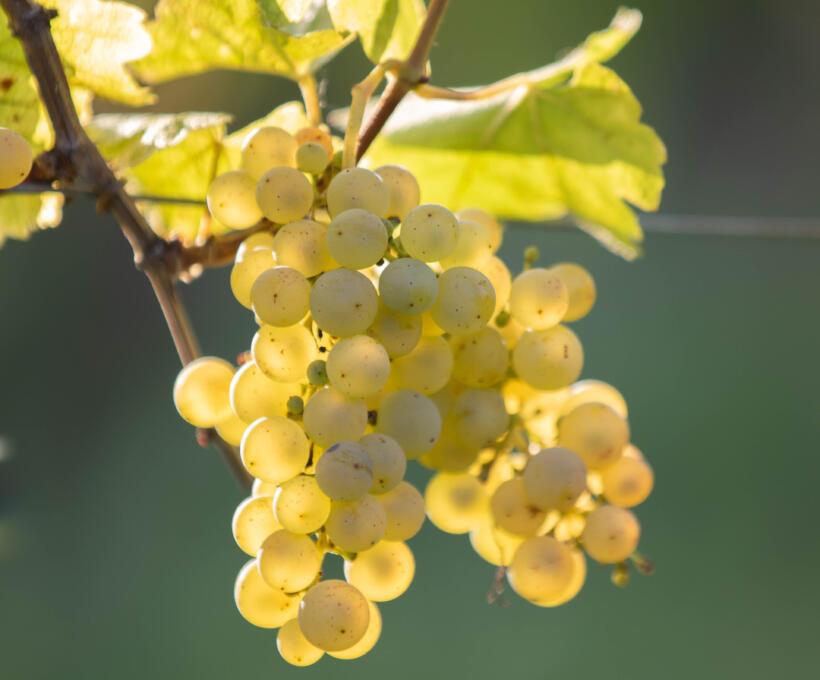 Vigne Cépage Sylvaner Schlumberger vin Alsace